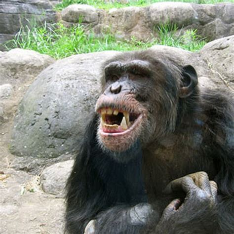 Why would a chimpanzee attack a human? - Scientific American