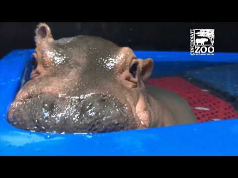 Adorable Baby Hippo Licks Her Lips And Smiles While