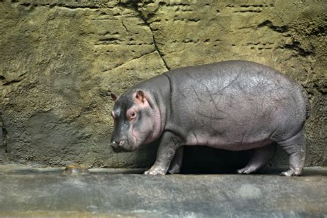Baby Hippo Fiona Is about to Make Her Starring Debut