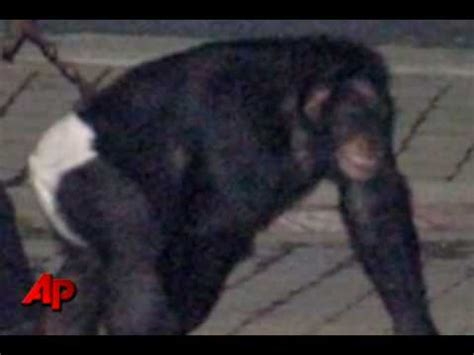 911 Call: Travis the gentle chimpanzee just ripped my