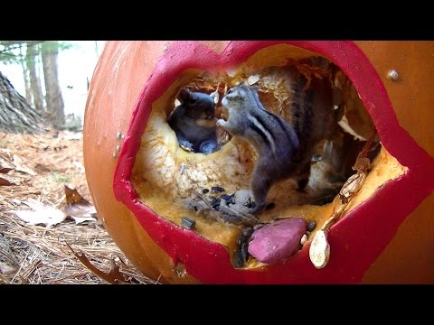Now that's a horror tail: Squirrels go nuts for Halloween