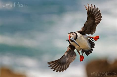 Puffin with sand eels   Moine