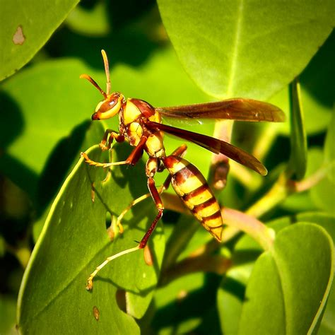 Polistes major | This large, exotic paper wasp took a